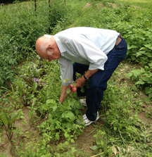 Jim Sauta pulling radishes in his field      Photo Nancy Arsenault